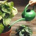 arrosage des plantes vertes